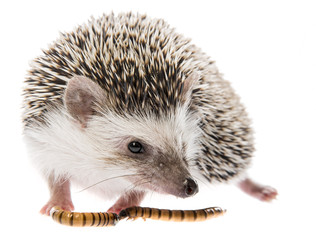 Four-toed Hedgehog (African pygmy hedgehog) - Atelerix albiventris