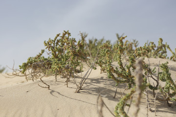 Sand dunes and plants in the desert under a blue sky