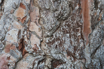 A pine tree's trunk texture