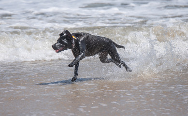 Funny black dog runnung on the beach