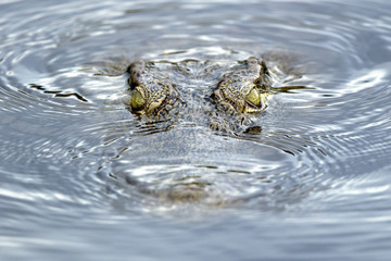 Crocodile close up