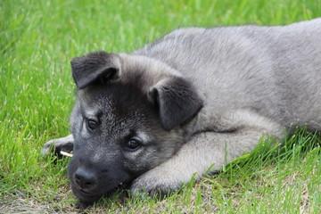 Elkhound Puppy