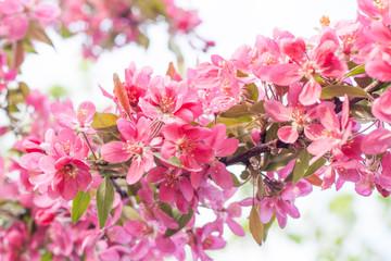 Apple tree pink flowers blossom