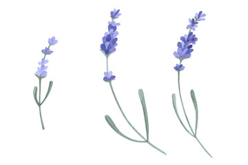 Lavender flowers elements. Hand drawn botanical set. Watercolor isolated object.