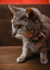 close up of portrait of grey cat