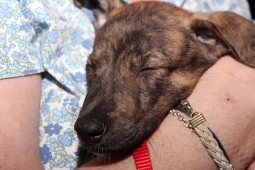 BRINDLE GREYHOUND DOG