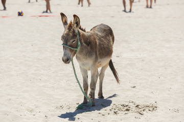 Donkey standing on hot sand at the beach