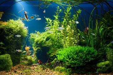 Planted tropical fresh water aquarium with small fishes at night in low key with dark blue background