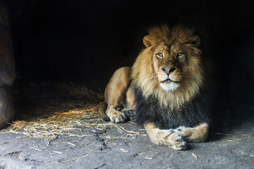 Male lion sitting in cav