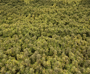 Background Texture Of Huge Grow Room Of Cannabis Sativa and Indica Marijuan Plants Growing Indoor Facility For Recreational Use