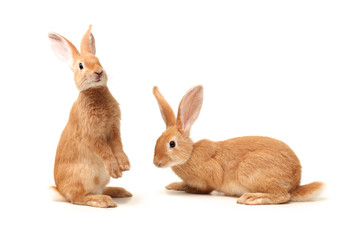Brown Bunny isolated on white background