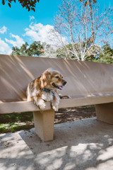 Golden spaniel mix dog sitting on bench at park