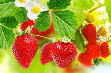 gardening strawberries and raspberries