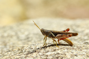 Image of White-banded Grasshopper(Stenocatantops splendens) on the rock. Insect. Animal.