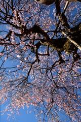 青空を背景に梅の花が咲く