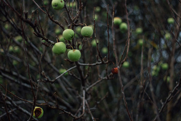fresh apple fruits on a trees