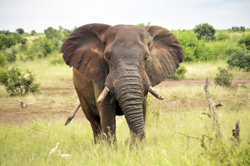African Elephant – Front View
