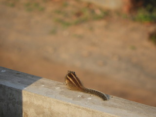 Indian ordinary squirrel on wall