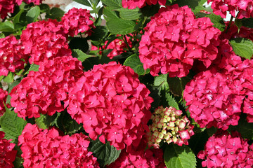 Foto op Canvas Hydrangea Flowering hydrangea with large, bright pink flowers. Close-up.