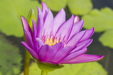 Elegant pink lily flower (lotus) in the water. The lotus flower (water lily) is a national flower for India. Symbol in Asian culture