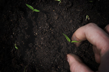 A female hand puts a small green sprout in the ground in rows