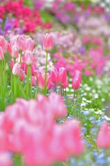 Photo sur Plexiglas Rose banbon 春の彩り