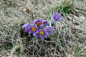 Pulsatilla, Pasqueflower, Meadow Anemone in full bloom