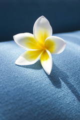 Frangipani flower, on a blue background. Spa concept. Copy space 2