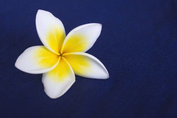 Frangipani flower, on a blue background. Spa concept. Copy space 3