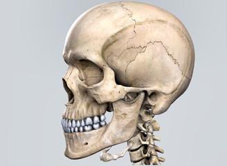 Human skull, 3d illustration.