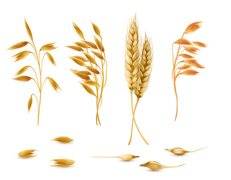 Vector realistic set of cereal plants, oat spikelets, barley ears, wheat or rye with grains isolated on background. Agriculture crop cultivated for healthy food, porridge, flakes, diet brans, muesli