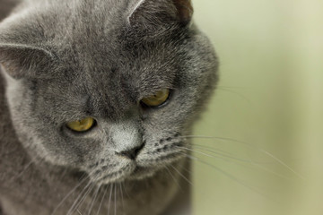 gray British thick cat