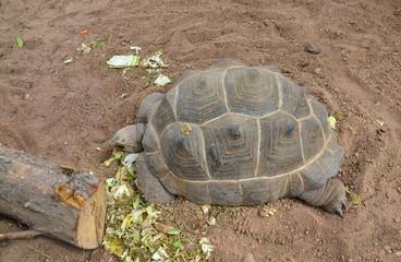 tortuga comiendo lechuga