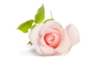 beautiful bud of single pink rose isolated on white background