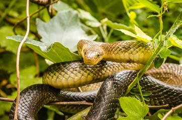 Aesculapian snake (Zamenis longissima - Elaphe longissima)
