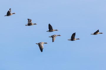 V shaped flock of greater white-fronted geese flying over the marshland near Mechelen