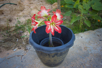 Amaryllis are the easiest to bring to bloom.