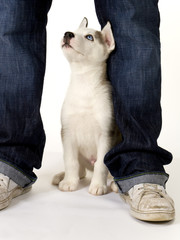 A very cute young male Husky puppy sits between his masters legs looking up
