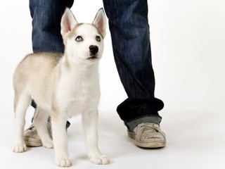 Fluffy young Husky dog puppy with piercing blue eyes stands by his master