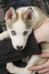 A very cute young Husky dog puppy with piercing blue eyes gets a hug in his masters arms