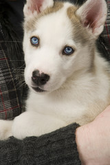 Fluffy young Husky dog puppy with piercing blue eyes is cuddled by his young master