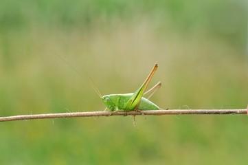 zielony świerszcz na łące