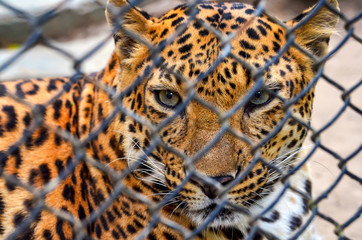 Leopard in a zoo cage watching a photographer.