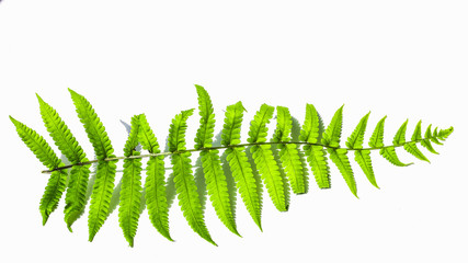 fern leaf plant nature isolated