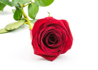Red rose isolated on white background one fresh cut.