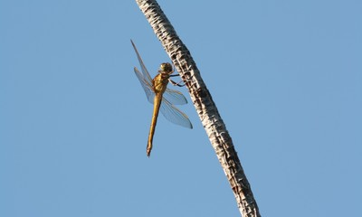 dragonfly on branch against blue sky