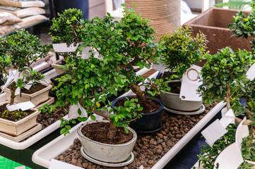 Piante di bonsai