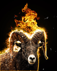 Goat burning fire
