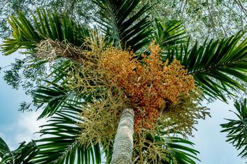 Fruit of fox tail palm
