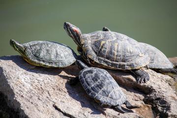 Turtles Sun Bathing
